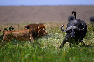 Male lion (Panthera leo) in confrontation with Cape buffalo (Syncerus caffer) Masai Mara National Reserve, Kenya  -  Anup Shah,Anup Shah