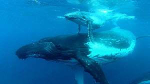 Female Humpback whale (Megaptera novaeangliae), swimming with calf, with a third individual in the background, Tonga  -  Brandon Cole