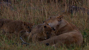 Group of African lion (Panthera leo) cubs running to lioness, greeting and grooming each other, Masai Mara National Park, Kenya. - Ammonite