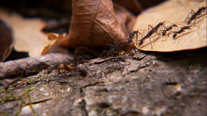 Army ant (Eciton burchelli) trail moving over forest floor, Santa Rosa National Park, Costa Rica.  -  Ammonite