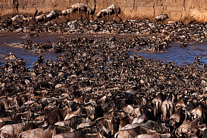 Eastern White-bearded Wildebeest (Connochaetes taurinus) herd crossing the Mara River and clambering up steep bank. Masai Mara National Reserve, Kenya, July - Anup Shah