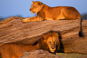 Lioness (Panthera leo) resting on a fallen tree with a courting male. Masai Mara National Reserve, Kenya, July - Anup Shah,Anup Shah