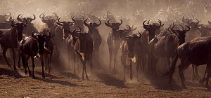 Eastern White-bearded Wildebeest (Connochaetes taurinus) herd on the move Masai Mara National Reserve, Kenya, July  -  Anup Shah,Anup Shah