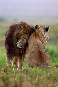 Lion (Panthera leo) male nuzzling lioness, Masai Mara National Reserve, Kenya, July - Anup Shah