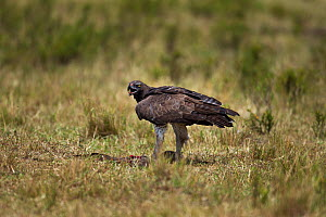 Martial eagle (Polemaetus bellicosus) on ground with prey, Masai Mara National Reserve, Kenya, July  -  Anup Shah