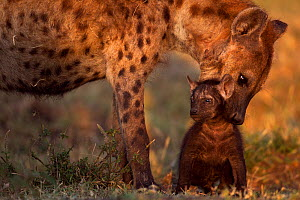 Spotted hyena (Crocuta crocuta) preparing to carry a pup aged 2-3 months. Masai Mara National Reserve, Kenya, July  -  Anup Shah