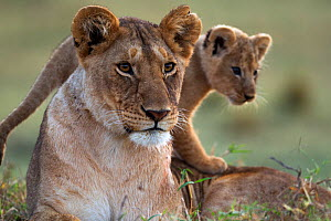Lioness (Panthera leo) with cub aged 2-3 months portrait. Masai Mara National Reserve, Kenya, August - Anup Shah