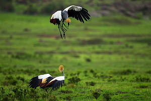 Grey or Southern Crowned cranes (Balearica regulorum) displaying. Masai Mara National Reserve, Kenya. August  -  Anup Shah