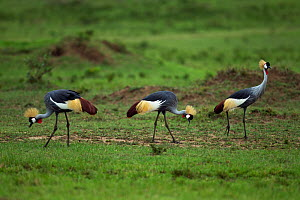 Grey or Southern Crowned cranes (Balearica regulorum) foraging. Masai Mara National Reserve, Kenya. August  -  Anup Shah