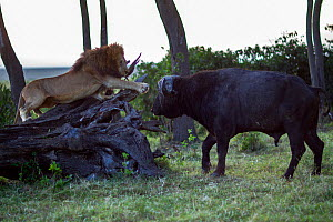 Male lion (Panthera leo) in confrontation with Cape buffalo (Syncerus caffer). Masai Mara National Reserve, Kenya, July  -  Anup Shah,Anup Shah