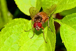 Fly (Phaonia rufiventris) Lewisham, London, April  -  Rod Williams