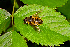 Hoverfly (Myathropa florea) viewed from above, Lewisham, London, April  -  Rod Williams