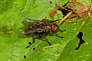 Flesh-fly (Sarcophaga sp) Lewisham, London, May - Rod Williams