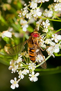 Hoverfly (Episyrphus balteatus) feeding on umbellifer, Lewisham, London, - Rod Williams