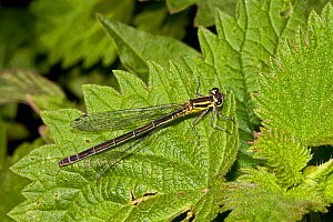 Azure Damselfly (Coenagrion puella) female on nettle leaf, Lewisham, London, June  -  Rod Williams