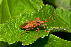Dock Bug (Coreus marginatus) Lewisham, London, June  -  Rod Williams