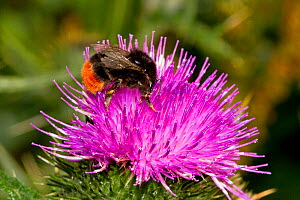 Red-tailed Bumblebee (Bombus lapidarius) female worker on thistle Lewisham, London, July  -  Rod Williams