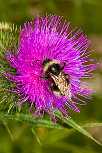 Cuckoo Bee (Bombus vestalis) covered in pollen, on thistle, Lewisham, London, July - Rod Williams