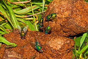 Greenbottles (Lucilia sp) feeding on dog faeces Lewisham, London, July  -  Rod Williams