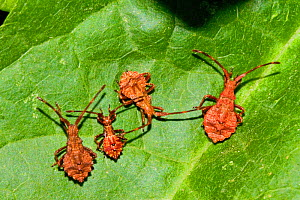 Young Dock Bugs (Coreus marginatus) Lewisham, London, August  -  Rod Williams
