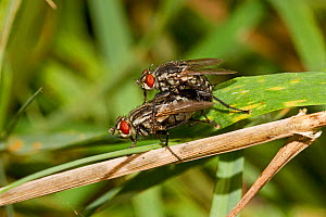 Flesh-flies mating (Sarcophaga sp) Lewisham, London, September - Rod Williams