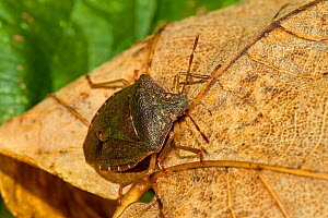 Green Shieldbug (Palomena prasins) in pre-hibernation colouring Lewisham, London, November - Rod Williams