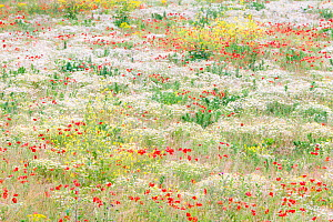 Flowers in bloom with Poppies (Papaver rhoeas) and Anthemis in field near Huissen, the Netherlands, June 2011 - Theo Bosboom,Theo  Bosboom
