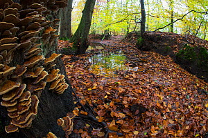 Autumn trees with Bracket fungi, Leuvenumse bos, the Netherlands, November  -  Theo  Bosboom