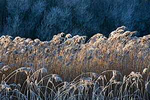 Reed and Willows (Salix sp) with hoarfrost, Weerribben-Wieden National Park, the Netherlands, December 2007  -  Theo  Bosboom