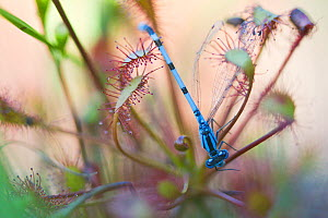 Common blue damselfly (Enallagma cyathigerum) caught in Sundew (Drosera sp), Hondeven, the Netherlands, July 2010  -  Theo  Bosboom