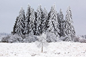Conifer trees in snowy landscape, near Baraque Michel, Belgian Ardennes, January 2010 - Theo  Bosboom