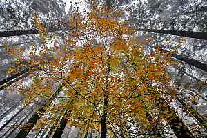 Young Beech trees (Fagus sp) with autumn leaves  in a coniferous forest, near La Hoegne, Belgian Ardennes, November  -  Theo  Bosboom