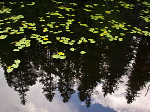 Lily pads (Nymphaceae) with the reflections of pine trees, with water reflections, Tresticklan National Park, Southwest Sweden, September - Theo Bosboom,Theo  Bosboom