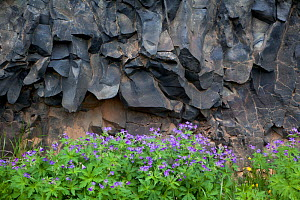 Wood cranesbill (Geranium salvaticum) with basalt rocks, Asbyrgi, Iceland, June  -  Theo  Bosboom