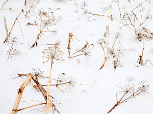 Dead Angelica (Angelica sp) in the snow, Skaftafell, Vatnajokull National Park, Iceland, February  -  Theo  Bosboom