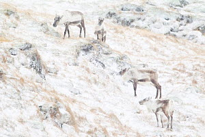 Reindeer (Rangifer tarandus) group grazing in the snow, near Hofn, Iceland, February  -  Theo Bosboom,Theo  Bosboom