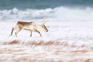 Reindeer (Rangifer tarandus) male walking across beach in winter, near Hofn, Iceland, February - Theo  Bosboom