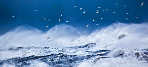 Gulls, predominantly Iceland gulls (Larus glaucoides) flying above stormy ocean  near Vik, Iceland, March 2012.  -  Theo Bosboom,Theo  Bosboom