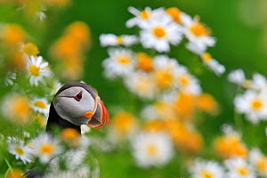 Atlantic puffin (Fratercula arctica) in field of daisies, Heimeay, Iceland, July - Theo  Bosboom