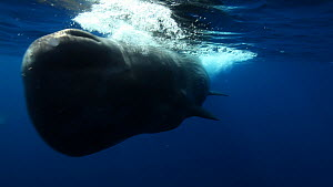 Close up of a Sperm whale (Physeter macrocephalus) swimming past the camera, Azores, Portugal, July. - Ammonite