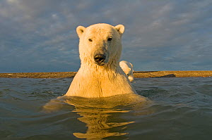 Polar bear (Ursus maritimus) curious young 2-year-old in water off a barrier island, its mother on the beach, Bernard Spit, 1002 area of the Arctic National Wildlife Refuge, North Slope, Alaska - Steven Kazlowski