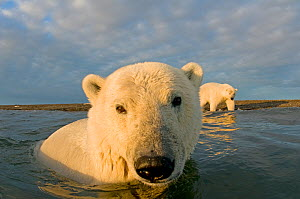 Polar bear (Ursus maritimus) curious young 2-year-old in water off a barrier island, its mother on the beach behind, Bernard Spit, 1002 area of the Arctic National Wildlife Refuge, North Slope, Alaska - Steven Kazlowski