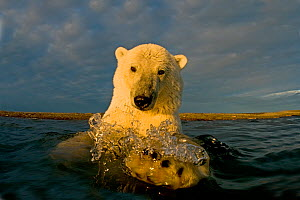 Polar bear (Ursus maritimus) curious young 2-year-old in water off a barrier island, 1002 area of the Arctic National Wildlife Refuge, North Slope, Alaska - Steven Kazlowski