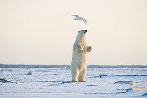 Polar bear (Ursus maritimus) young female stands to get a better view of what's around it, Bernard Spit, 1002 area of the Arctic National Wildlife Refuge, North Slope, Alaska. - Steven Kazlowski