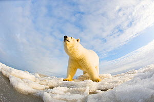 Polar bear (Ursus maritimus) 4-5 year-old on pack ice, low angle shot, off the 1002 area of the Arctic National Wildlife Refuge, North Slope of the Brooks Range, Alaska, Beaufort Sea, autumn - Steven Kazlowski,Steven Kazlowski