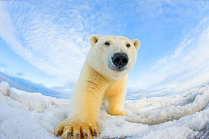 Polar bear (Ursus maritimus) investigating camera on pack ice off the 1002 area of the Arctic National Wildlife Refuge, North Slope of the Brooks Range, Alaska, Beaufort Sea, autumn  -  Steven Kazlowski