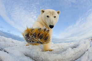 Polar bear (Ursus maritimus) investigating camera and batting it with paw, on pack ice off the 1002 area of the Arctic National Wildlife Refuge, North Slope of the Brooks Range, Alaska, Beaufort Sea,... - Steven Kazlowski