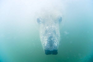 Polar bear (Ursus maritimus) curious adult head underwater, Beaufort Sea, off the 1002 area of the Arctic National Wildlife Refuge, North Slope, Alaska.  -  Steven Kazlowski,Steven Kazlowski