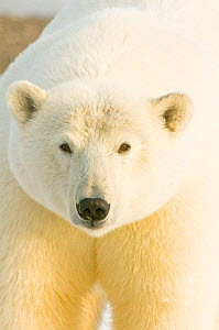 Polar bear (Ursus maritimus) portrait, female. Bernard Spit, 1002 area of the Arctic National Wildlife Refuge, North Slope, Alaska. - Steven Kazlowski,Steven Kazlowski