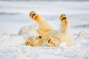 Polar bear (Ursus maritimus) juvenile rolling  around on newly formed pack ice, Beaufort Sea, off the 1002 area of the Arctic National Wildlife Refuge, North Slope, Alaska - Steven Kazlowski,Steven Kazlowski